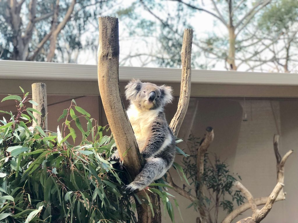 Things To Do In Adelaide For Kids, koala