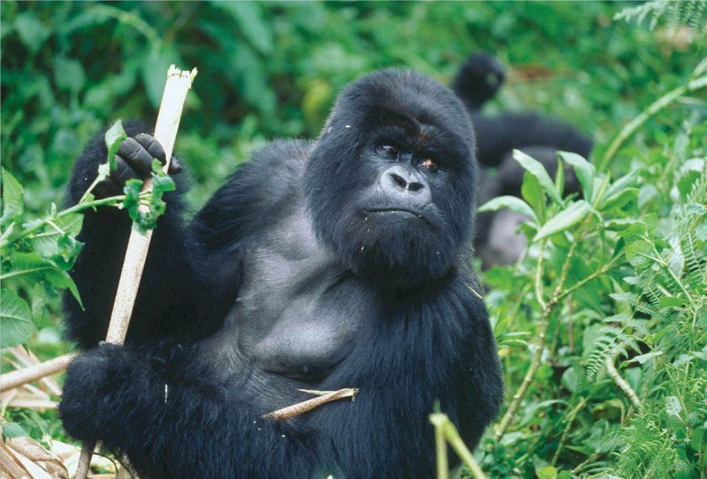 gorilla, rwanda, luxury family travel