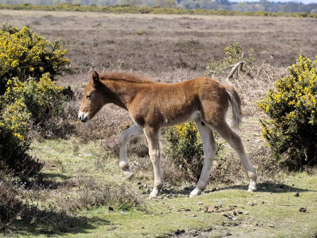 new forest pony, things to do near peppa pig world, things to do int he new forest