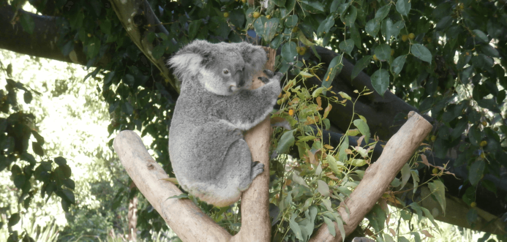 Things to do In Brisbane With Kids easy hill koala sanctuary , koala on tree